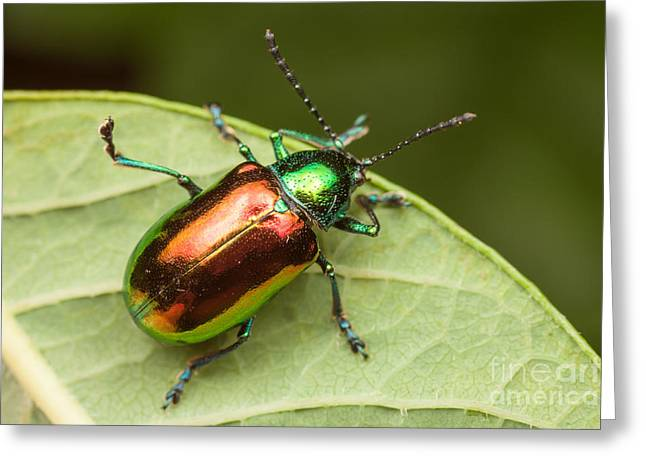 Invertebrates Greeting Cards - Dogbane Beetle Greeting Card by Clarence Holmes