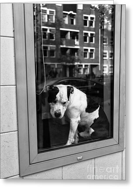 Pit Bull Poster Greeting Cards - Doggy in the Window mono Greeting Card by John Rizzuto