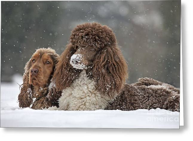 Dog In Snow Greeting Cards - Dogs In Snow Greeting Card by Johan De Meester