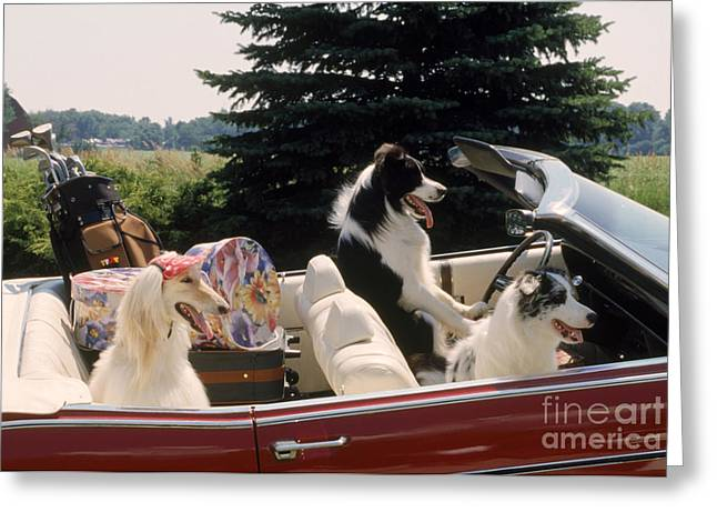 Bred Greeting Cards - Dogs On Holiday Greeting Card by Carolyn A. McKeone