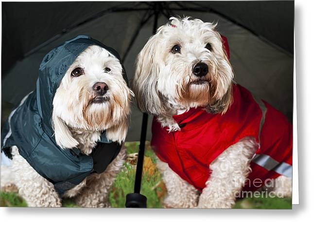 Doggie Greeting Cards - Dogs under umbrella Greeting Card by Elena Elisseeva