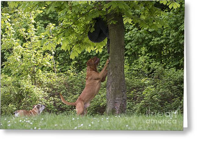 Working Dog Greeting Cards - Dogue De Bordeaux Chasing Man Greeting Card by Jean-Michel Labat