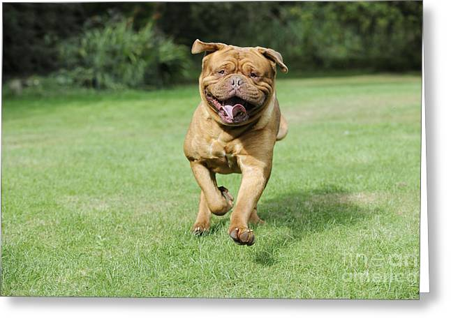 French Open Greeting Cards - Dogue De Bordeaux Greeting Card by John Daniels