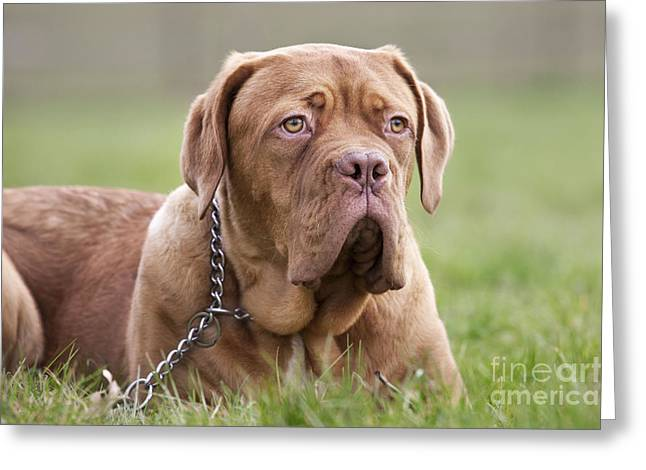 Mastiff Pup Greeting Cards - Dogue De Bordeaux Puppy Greeting Card by Johan De Meester