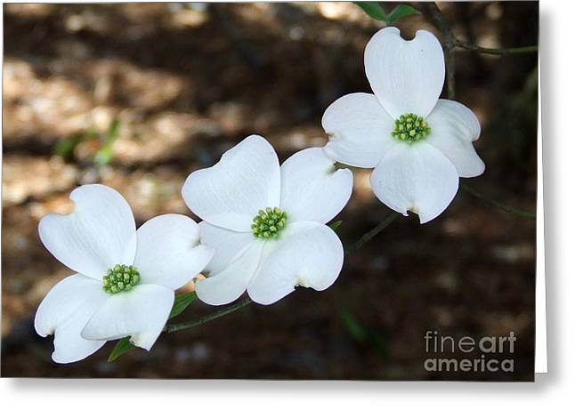 Dogwood Greeting Card by Andrea Anderegg