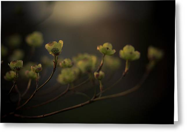 Dogwood Greeting Cards - Dogwood at Dusk Greeting Card by Shane Holsclaw