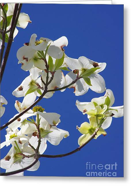 Dogwood Beauty Greeting Card by Tannis  Baldwin