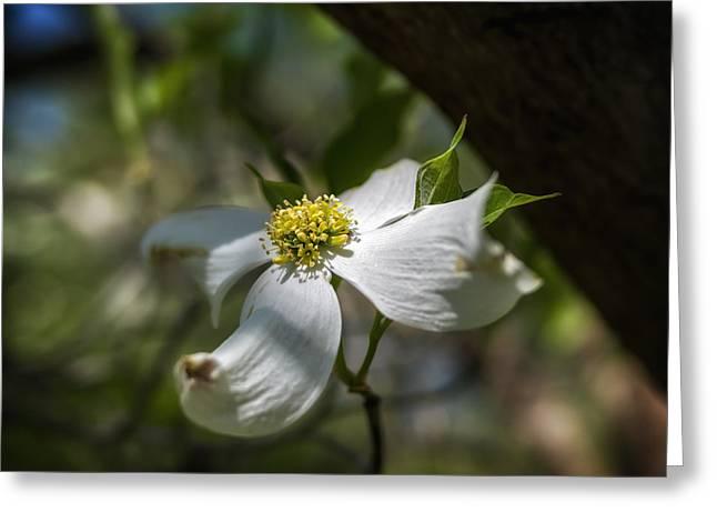 Dogwood Bloom In Shadows Greeting Card by Lori Coleman