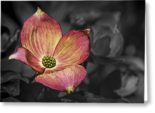 Ron Roberts Photography Greeting Cards - Dogwood Bloom Greeting Card by Ron Roberts