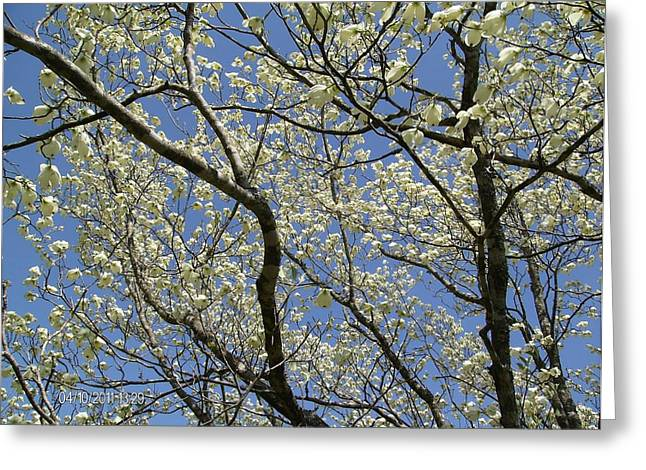 Upshot Greeting Cards - Dogwood Blooms Greeting Card by Nick Kirby