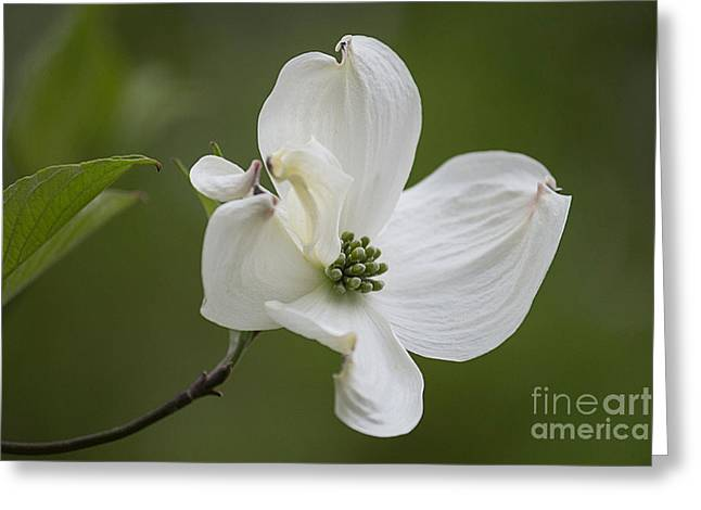 Dogwood Blossom Greeting Card by Arlene Carmel