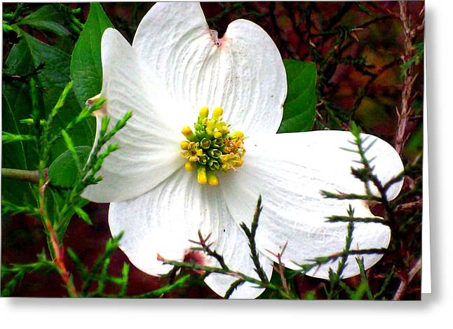 """flower Still Life Prints"" Greeting Cards - Dogwood Blossom Greeting Card by B L Hickman"