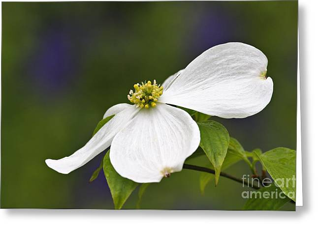 Bract Greeting Cards - Dogwood Blossom - D001797 Greeting Card by Daniel Dempster