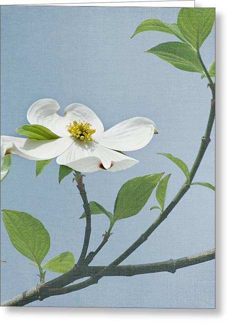 Beautiful Flowering Trees Greeting Cards - Dogwood Blossoms Greeting Card by Kim Hojnacki