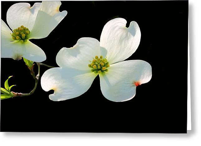 Cornus Greeting Cards - Dogwood Blossoms Greeting Card by Kristin Elmquist