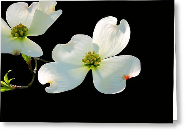 Dogwood Blossom Greeting Cards - Dogwood Blossoms Painted Greeting Card by Kristin Elmquist