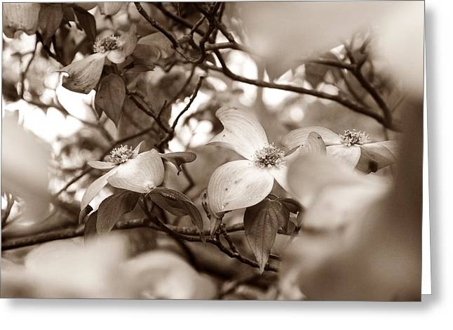 Duo Tone Greeting Cards - Dogwood Blossoms Greeting Card by Sharon Popek