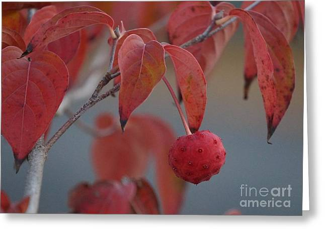 Fruit Tree Art Greeting Cards - Dogwood fruit Greeting Card by Zori Minkova
