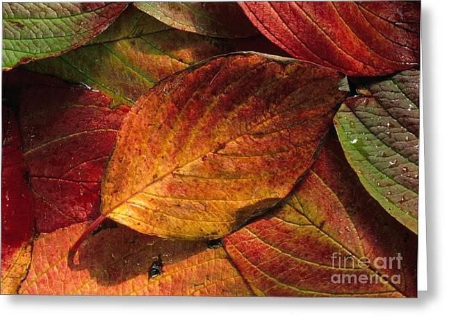 Fallen Leaf Greeting Cards - Dogwood Leaves In Autumn Greeting Card by K. G. Vock
