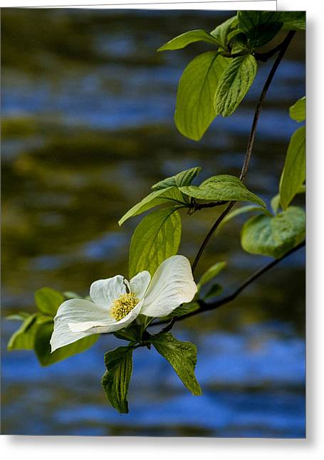 Water Flowing Greeting Cards - Dogwood on the Merced Greeting Card by Bill Gallagher