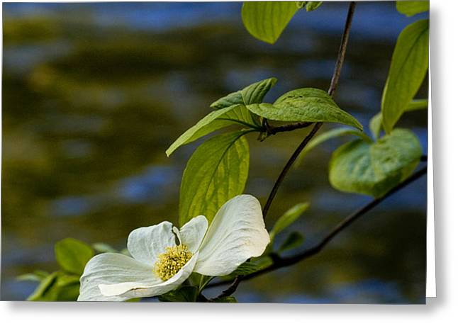 Dogwood on the Merced Greeting Card by Bill Gallagher