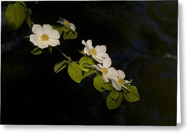 Bill Gallagher Photography Greeting Cards - Dogwood On The River Greeting Card by Bill Gallagher
