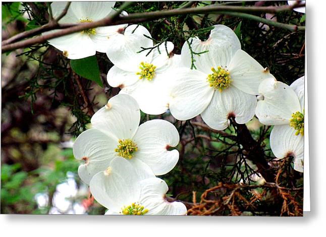 """flower Still Life Prints"" Greeting Cards - Dogwood tree Greeting Card by B L Hickman"