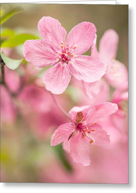 Wild Orchards Greeting Cards - Dogwood Tree Bloom Close Up In Spring Greeting Card by Carol Mellema