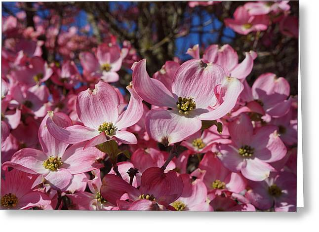 Dogwood Tree Flowers Art Prints Floral Greeting Card by Baslee Troutman