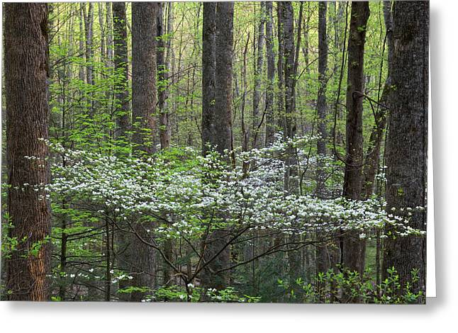 Dogwood Trees In A Forest, Little Greeting Card by Panoramic Images
