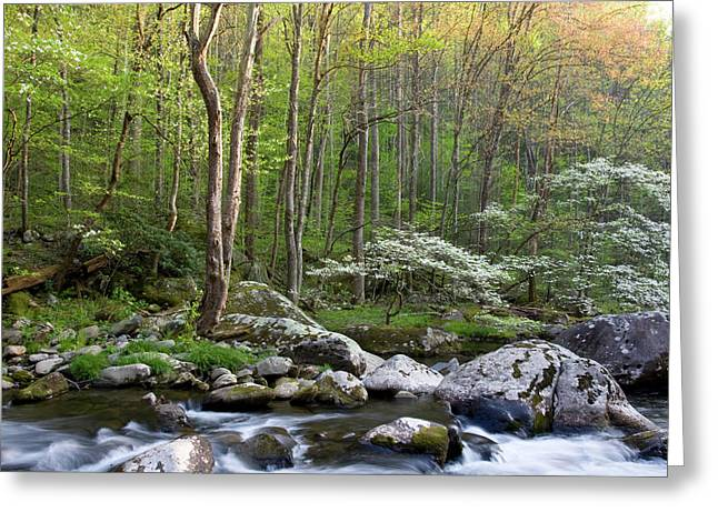Dogwood Trees In Spring Along Middle Greeting Card by Panoramic Images