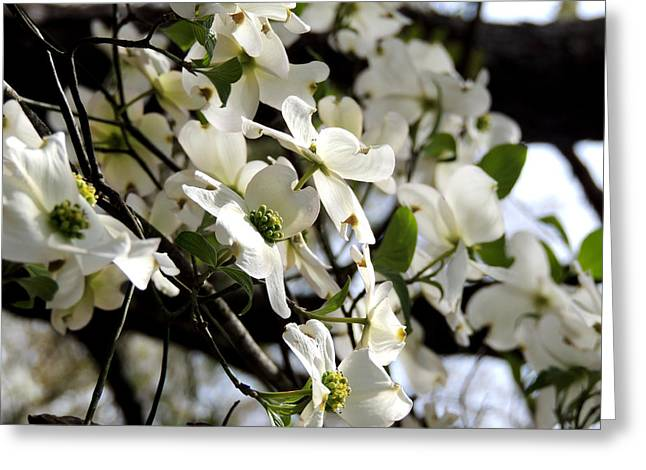 Kim Pate Greeting Cards - Dogwoods in the Spring Greeting Card by Kim Pate