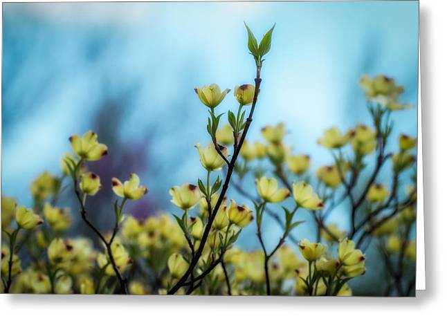 James Barber Greeting Cards - Dogwoods on Blue Sky Greeting Card by James Barber