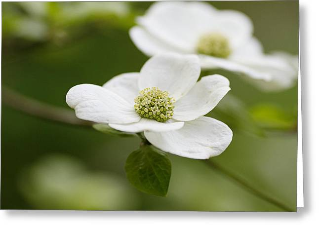 Dogwood Greeting Cards - Dogwoods Greeting Card by Rebecca Cozart