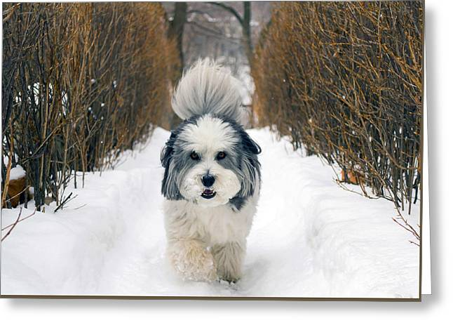 Coton Tulear Photographs Greeting Cards - Doing The Dog Walk Greeting Card by Keith Armstrong