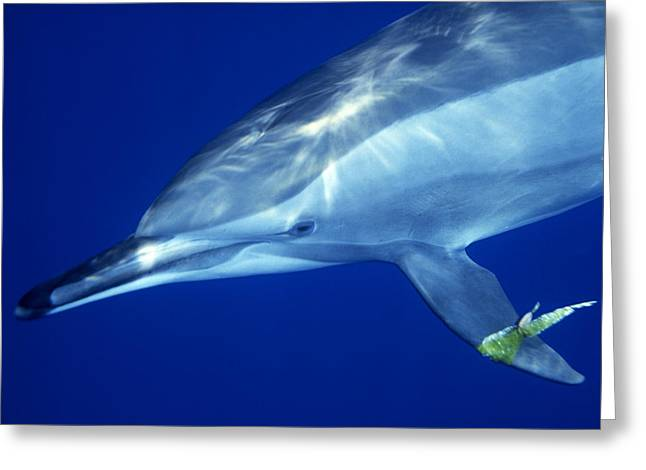 Sha Greeting Cards - Dolphin Greeting Card by Ali Kabas