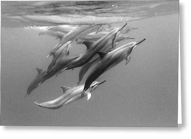 Ocean Mammals Greeting Cards - Dolphin Pod Greeting Card by Sean Davey