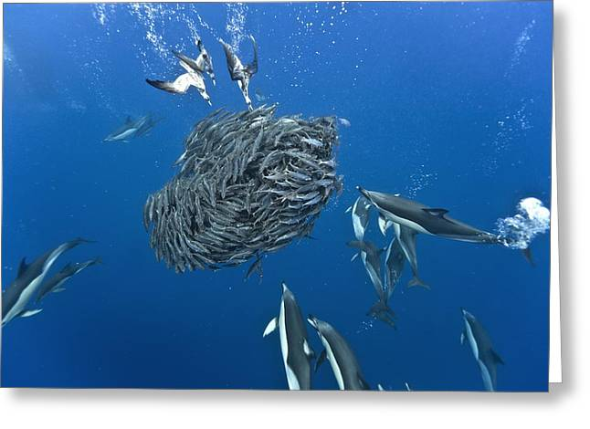Fish. Spherical Greeting Cards - Dolphins and shearwaters hunting Greeting Card by Science Photo Library
