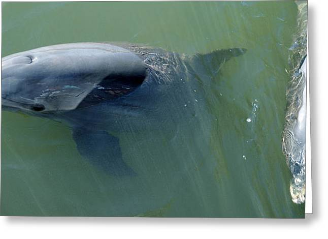Matanzas Greeting Cards - Dolphins In The Sea, Varadero, Matanzas Greeting Card by Panoramic Images