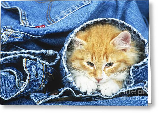Dungarees Greeting Cards - Domestic Cat In Bluejeans Greeting Card by Tierbild Okapia