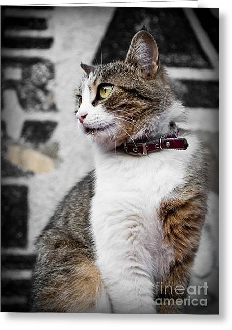 Outdoor Portrait Greeting Cards - Domestic cat Greeting Card by Jelena Jovanovic