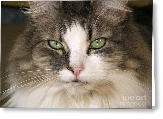 Chordata Greeting Cards - Domestic Cat Greeting Card by Peter Skinner