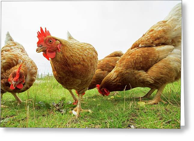 Domestic Chickens Foraging Greeting Card by Simon Booth