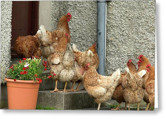 Domestic Chickens On Doorstep Greeting Card by Simon Booth