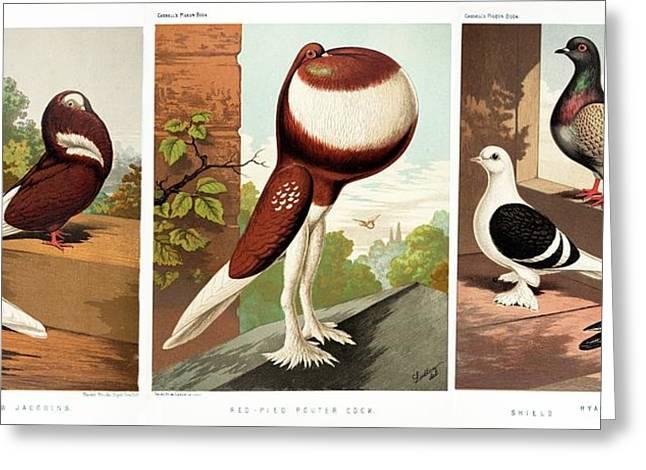 Domestic Fancy Pigeon Breeds Greeting Card by Paul D Stewart