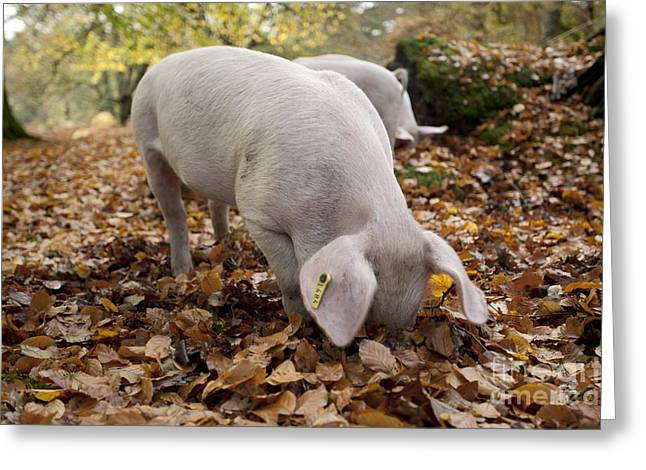 Ear Tags Greeting Cards - Domestic Pig Foraging Greeting Card by Simon Booth