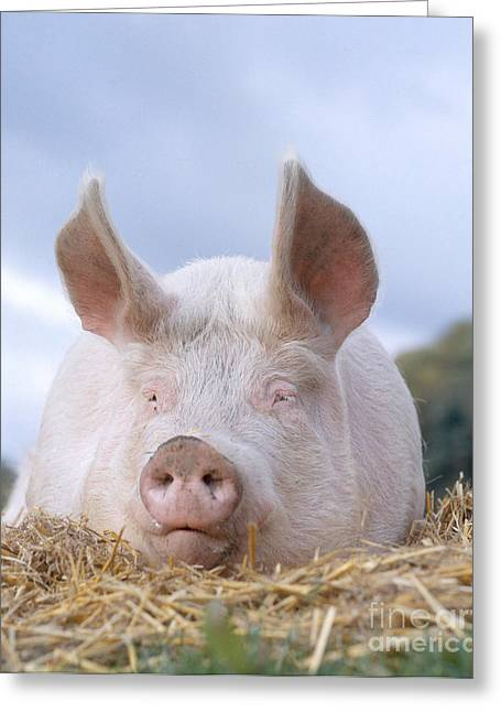 Pig Photographs Greeting Cards - Domestic Pig Greeting Card by Hans Reinhard