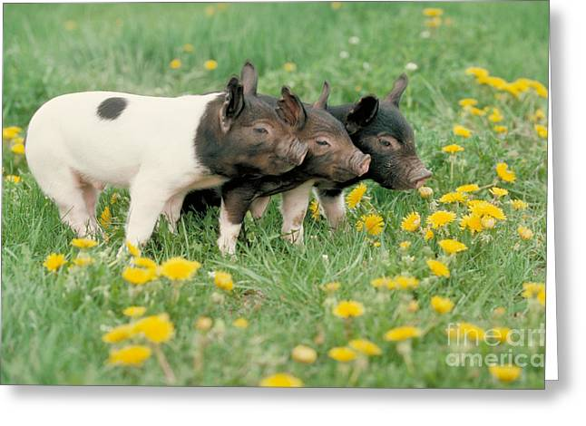 Piglets Greeting Cards - Domestic Piglets Greeting Card by Alan Carey