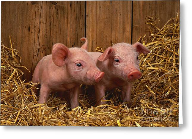 Piglets Greeting Cards - Domestic Piglets Greeting Card by Tierbild Okapia