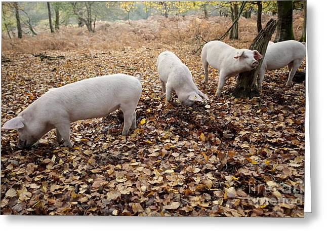 Ear Tags Greeting Cards - Domestic Pigs Foraging Greeting Card by Simon Booth